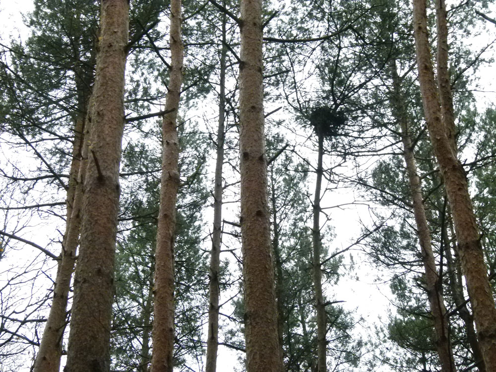 Etchden Wood, four miles west of Ashford, Kent. 0.57 acres of mature Scots pine with oak and mixed broadleaf for £10,500 (freehold)