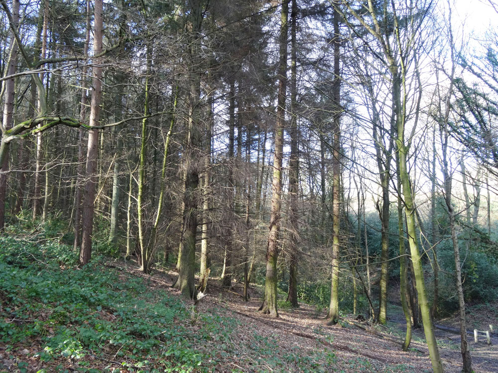 Hazelshaw Spring, Chapeltown, South Yorkshire. 3.15 acres of mature mixed woodland for £24,000 (freehold)