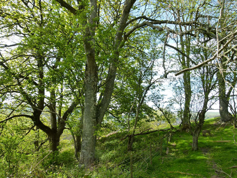 Gigrin Prysg, Rhayader, Powys, mid-Wales. 11.8 acres of mature oak woodland with stunning views and a fast-flowing stream. £34,000 (freehold)