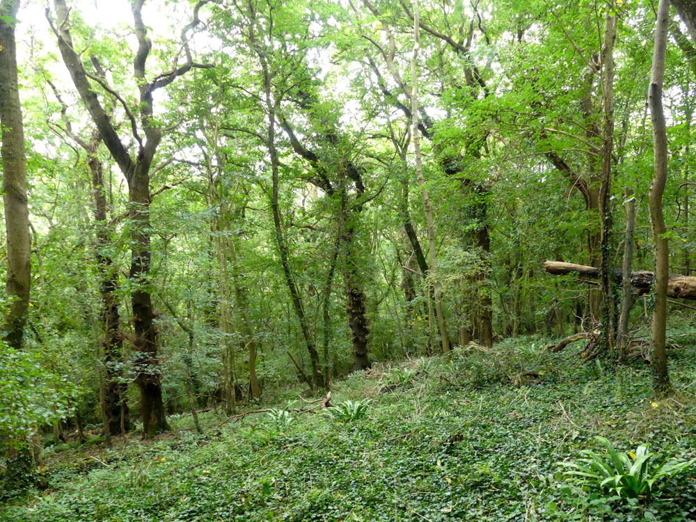 Saxon Copse, a mature deciduous Ancient Semi Natural woodland, near to Banwell and Sandford in North Somerset, 2.52 acres for £28,500 (freehold)