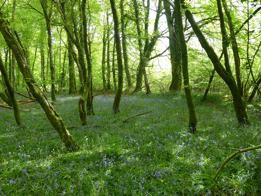 Sortridge Wood, Horrabridge, Devon. Mature broadleaves on the west fringes of Dartmoor. 4.64 acres for £57,500 (freehold)