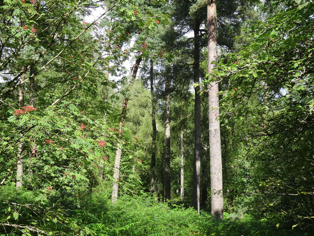 Cumnock Wood, Neilston, East Renfrewshire. 5.07 acres of mixed woodland accessed by a good stone track for £26,000 (freehold)