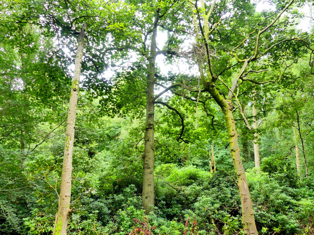 Weaver Wood, a broadleaf woodland with a stream in the Cheshire countryside, near Delamere Forest. 2.3 acres for £37,000 (freehold)