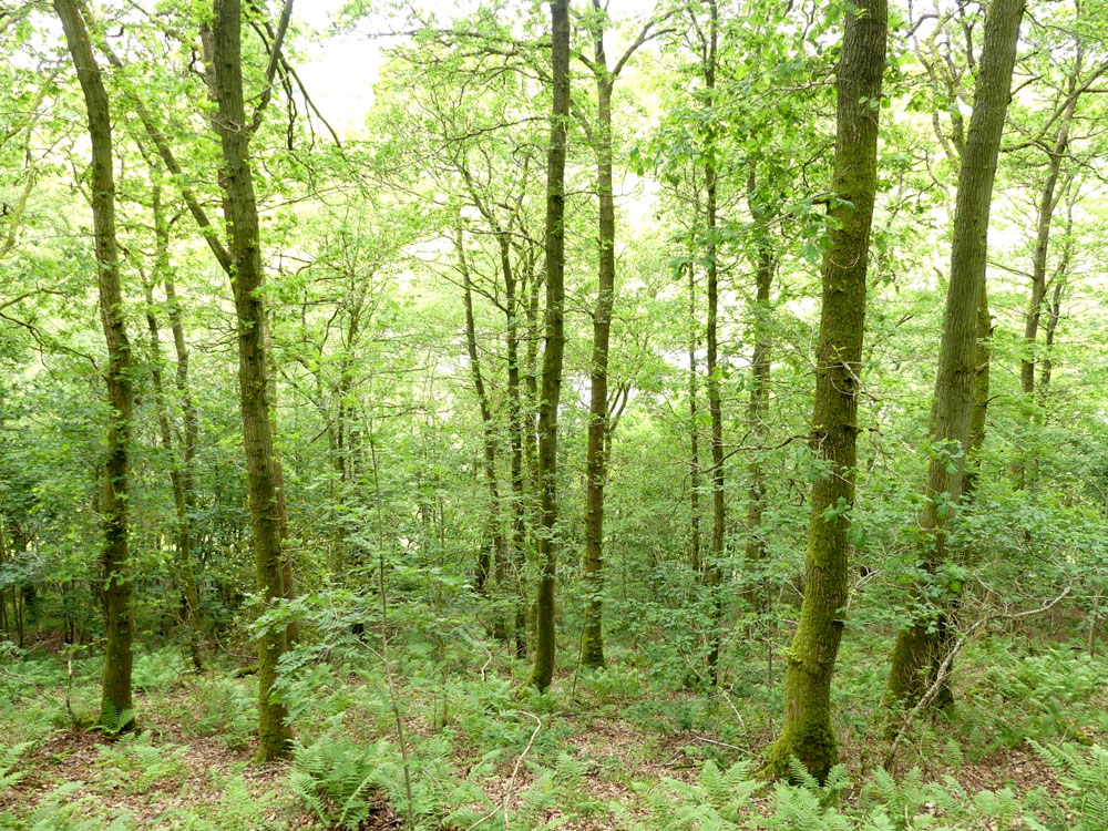 Brood Wood, 1.79 acres of maturing oak woodland near to Knighton in Powys. £16,000 (freehold)
