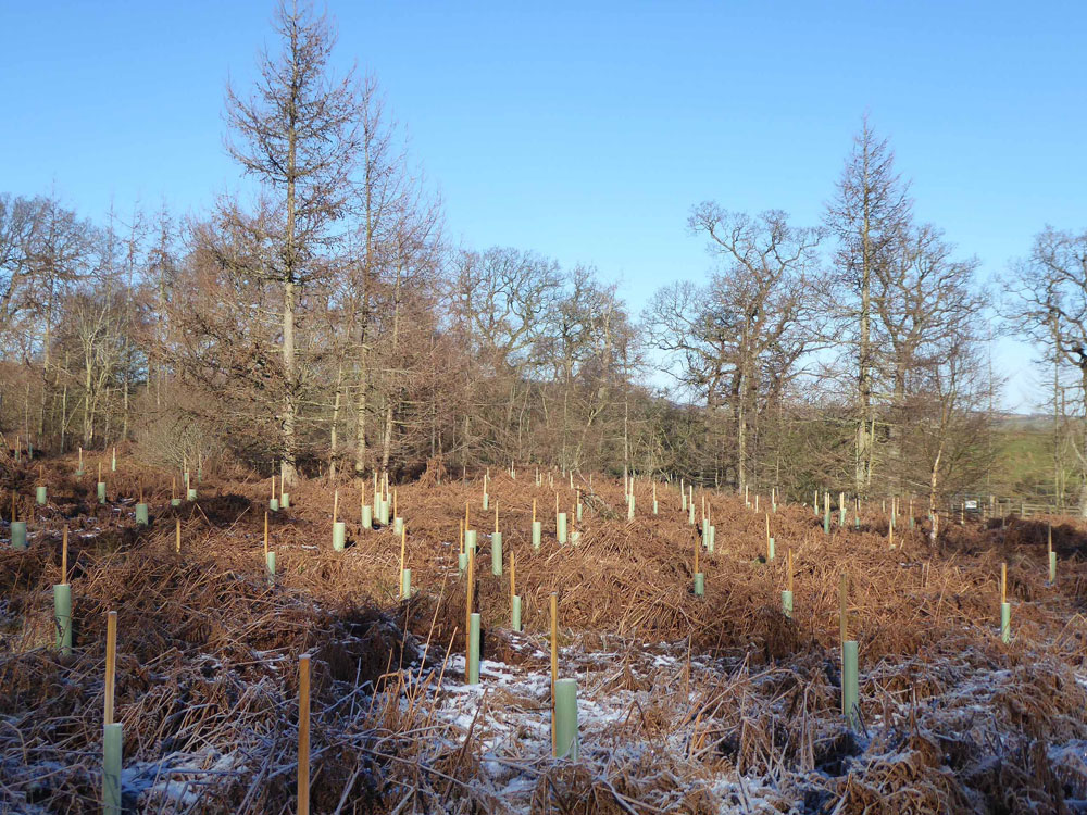 Barcham Wood, Longhorsley, Northumberland. Newly planted broadleaves within a mosaic of scattered maturing larch. 1.4 acres freehold for £26,500
