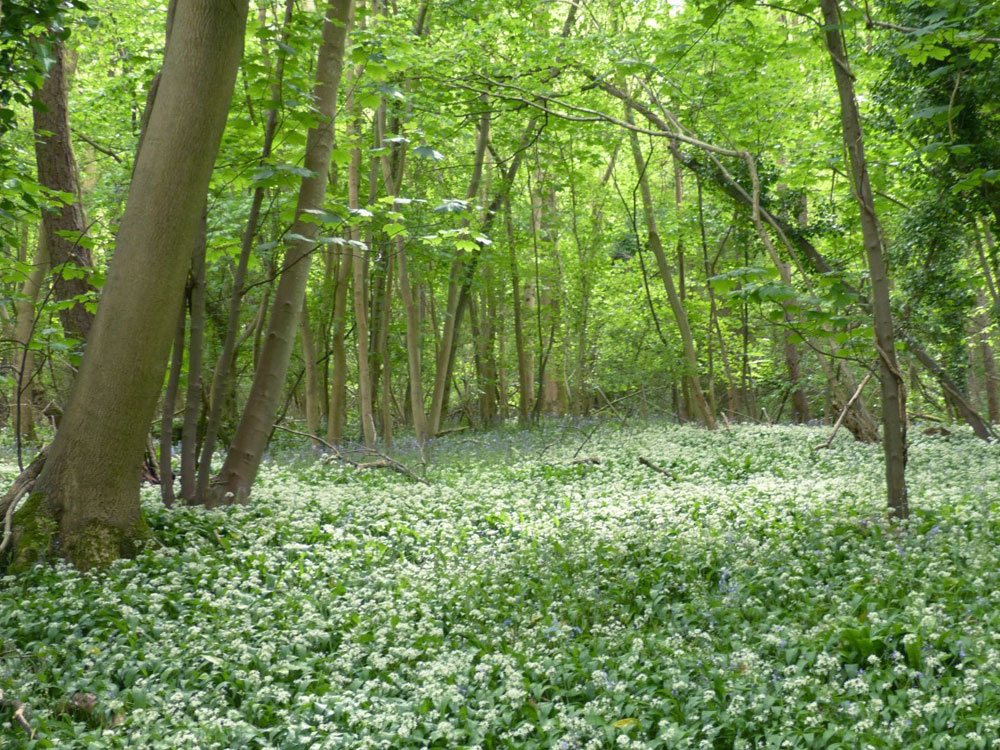 Boar Wood, 3.72 acres of mature broadleaves near the village of Banwell in North Somerset for £41,000 (freehold)