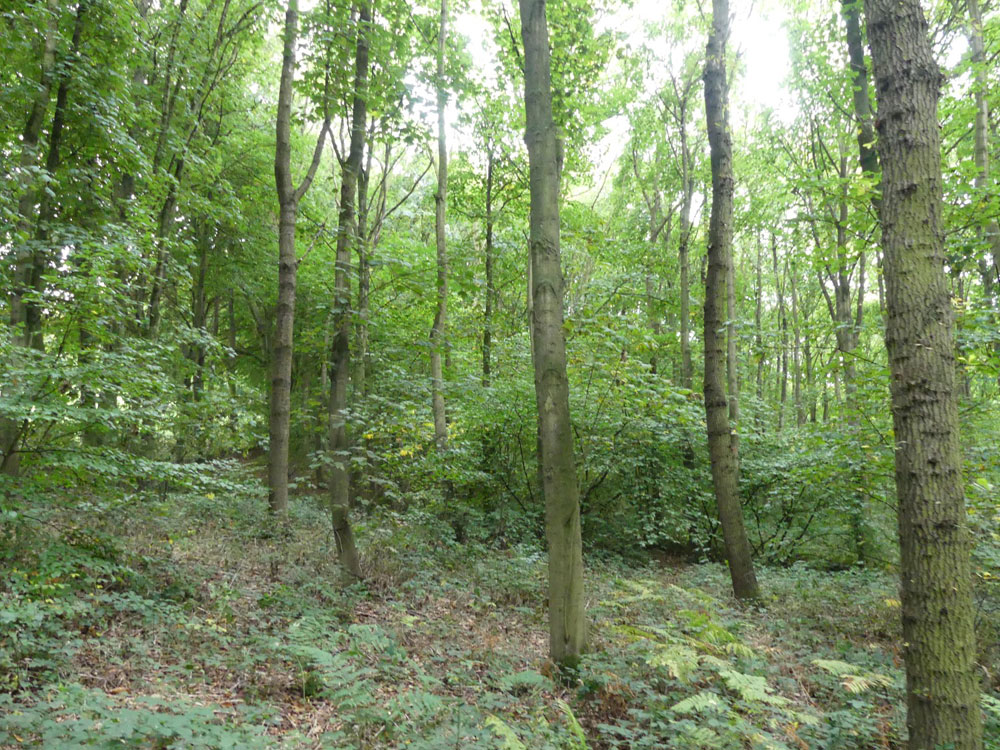Orgreave Wood, beautiful deciduous woodland, near Barnburgh, South Yorkshire. 1.36 acres for £19,500 (freehold)