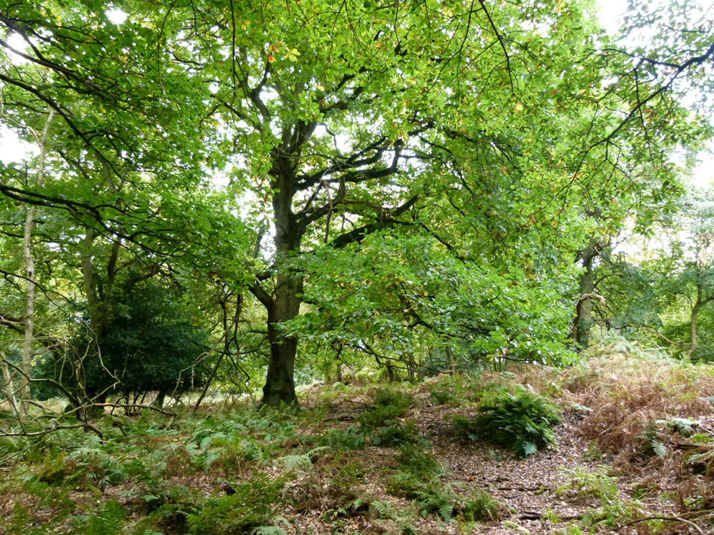Chestnut Grove, near Ironbridge, Telford, Shropshire, mature chestnut Ancient Woodland with car access. 3.05 acres for £45,000 (freehold)