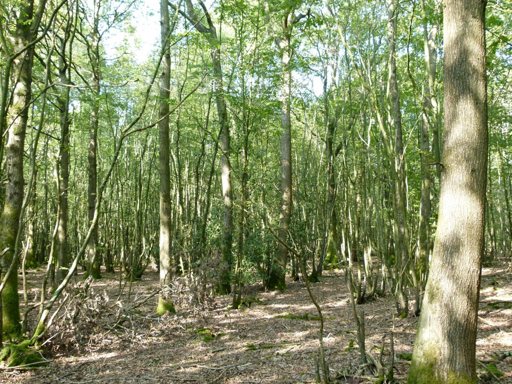 Cole Wood, a broadleaf and commercial conifer plantation near to Ashford in Kent, 40.61 acres. Offers in excess of £260,000 (freehold)