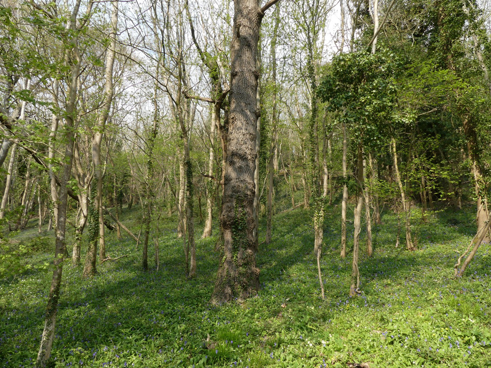 Bower Wood, 2.01 acres of Ancient Woodland with excellent access on the outskirts of Banwell village, North Somerset for £28,000 (freehold)