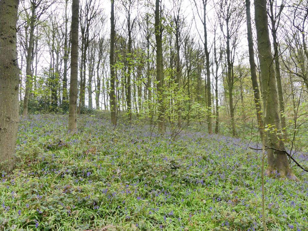 Ledston Wood, beautiful mature broadleaf woodland, near Barnburgh, South Yorkshire. 1.98 acres for £27,000 (freehold)