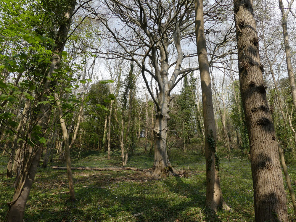 Ghyston Wood, 1.95 acres of Ancient Woodland with excellent access on the outskirts of Banwell village, North Somerset for £27,500 (freehold)
