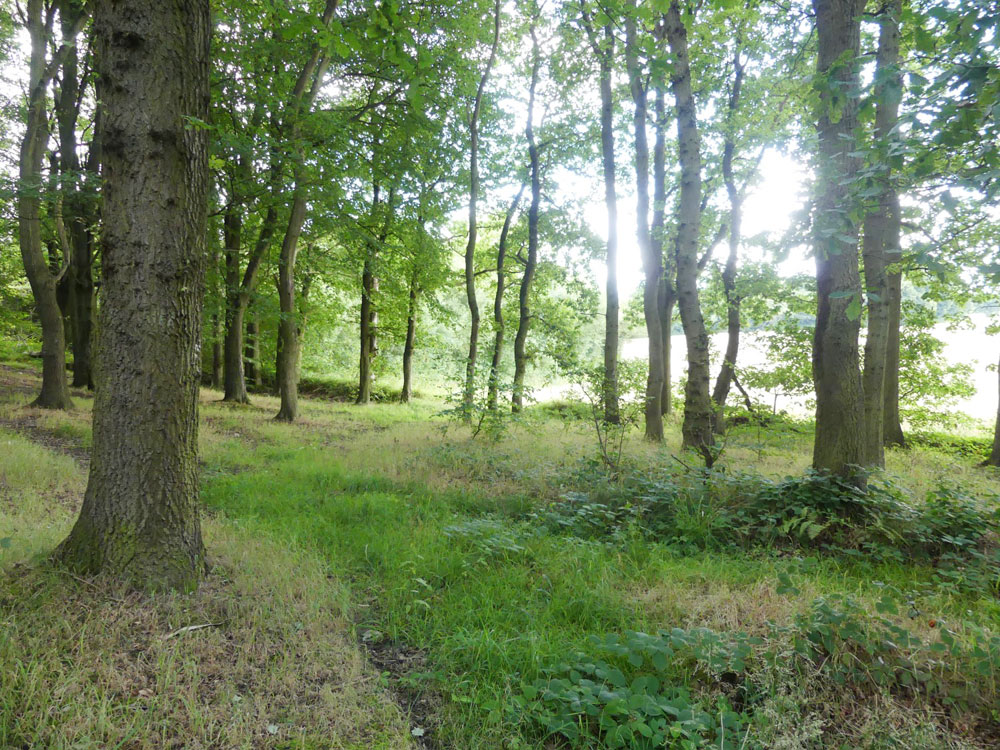 Fawkes Wood. A Scots pine, oak and beech woodland, near Barnburgh, South Yorkshire. 3.09 acres for £34,000 (freehold)