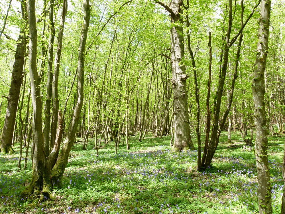 Harpley Wood, near Hurst Green, East Sussex. 2.91 acres of beautiful conifer and broadleaves with recreational opportunities, 9 miles from Hastings. £53,000 (freehold)