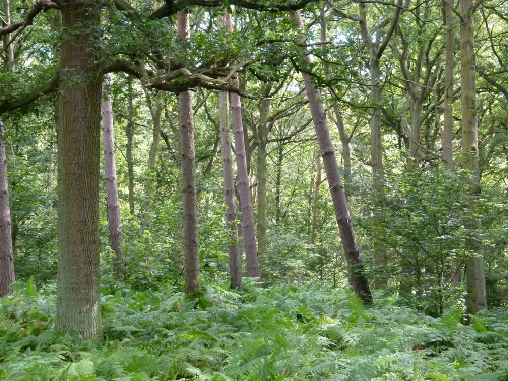 Tetworth Copse near Sandy, Bedfordshire. 4.6 acres of lofty conifer and broadleaf woodland, 13 miles from Bedford. £71,000 (freehold)
