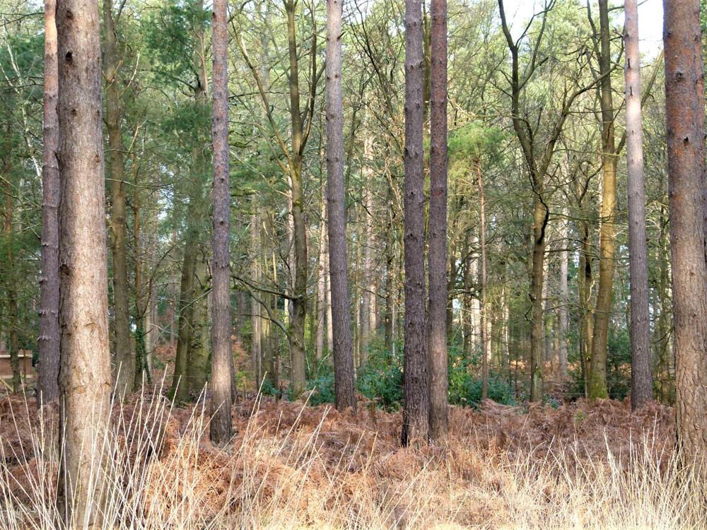 Waddler Wood, near Guildford, Surrey. 2.23 acres of lofty conifer woodland with excellent access, only 35 miles from London. £38,000 (freehold)