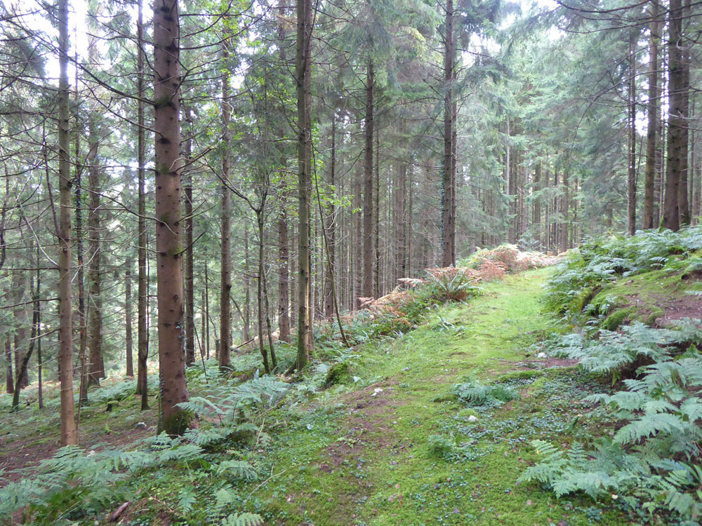 Telegraph Wood, Honiton, Devon. 4.78 acres of mature conifers for £45,000 (freehold)